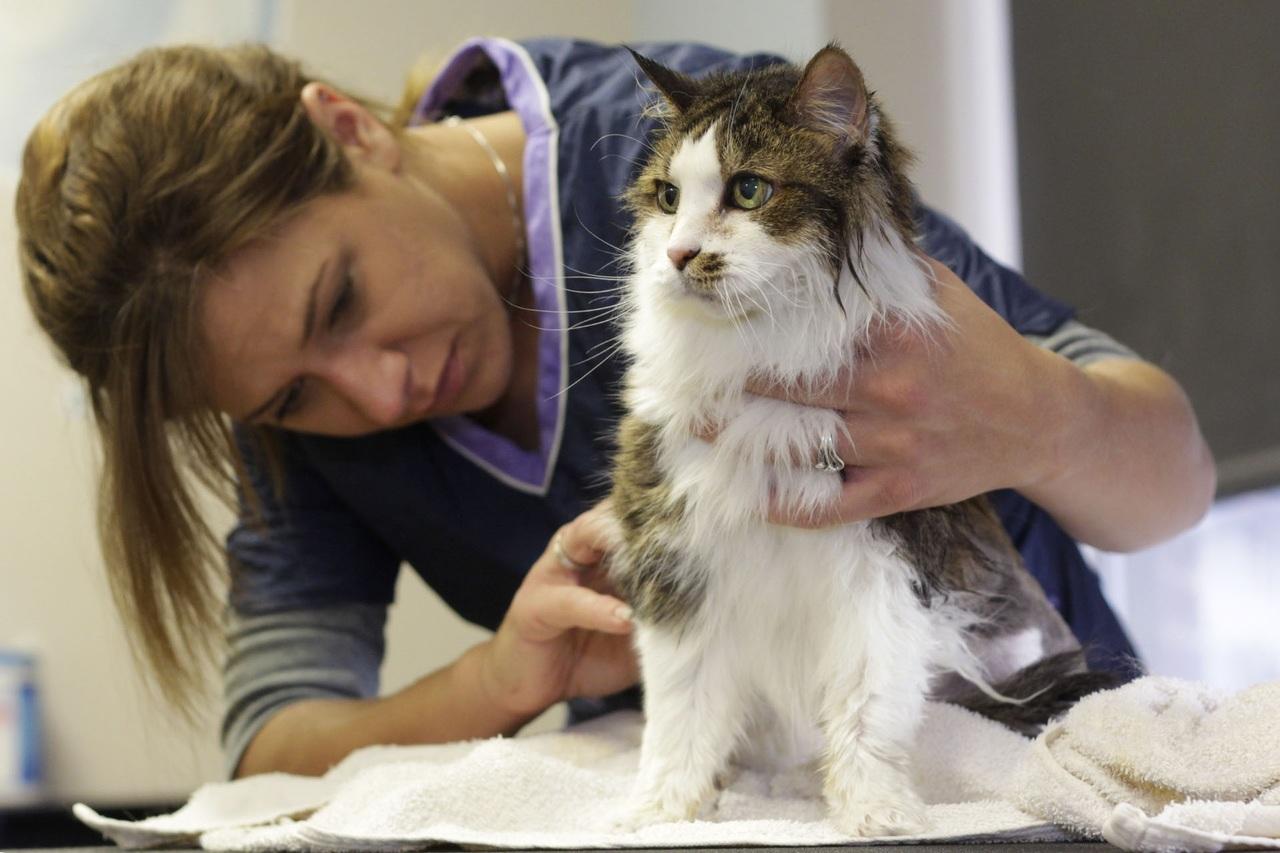 Tratamiento para la sarna en gatos