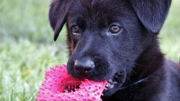 Cómo eliminar las pulgas de los perros