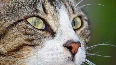Cuántas vidas tiene un gato