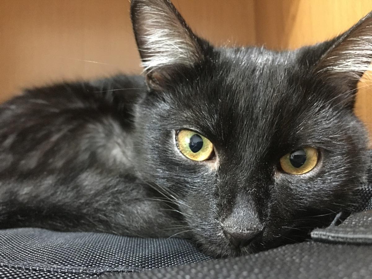 Edad adulta de un gato