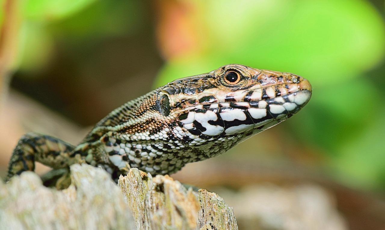 La vida de una lagartija