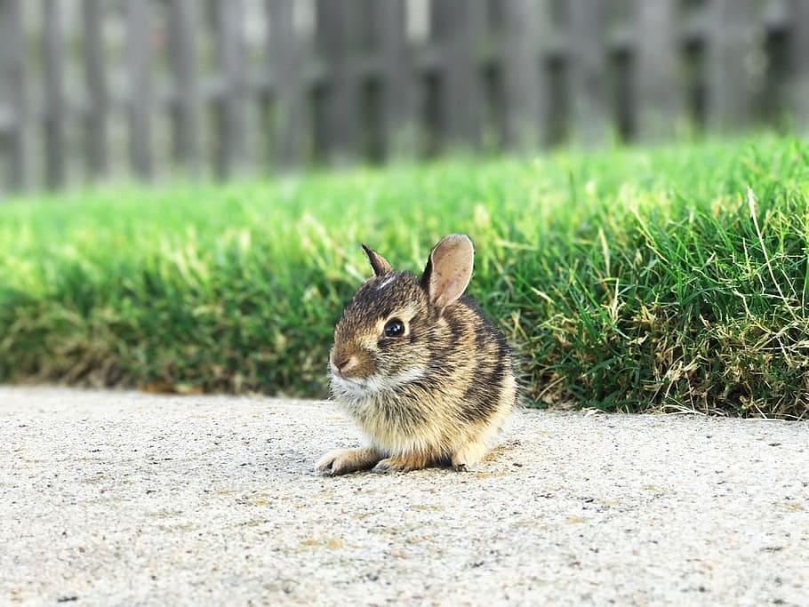 raza de conejos enanos