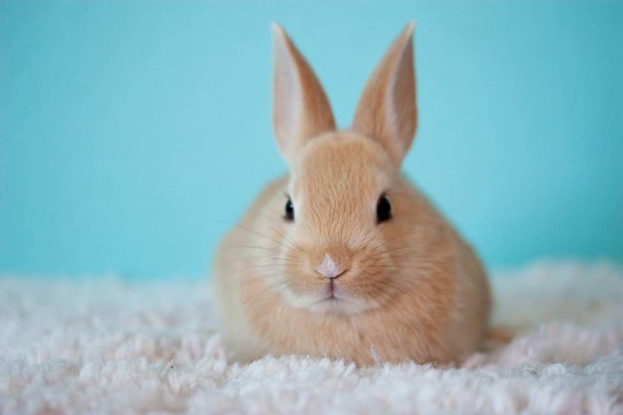 razas de conejo para mascotas o domesticos