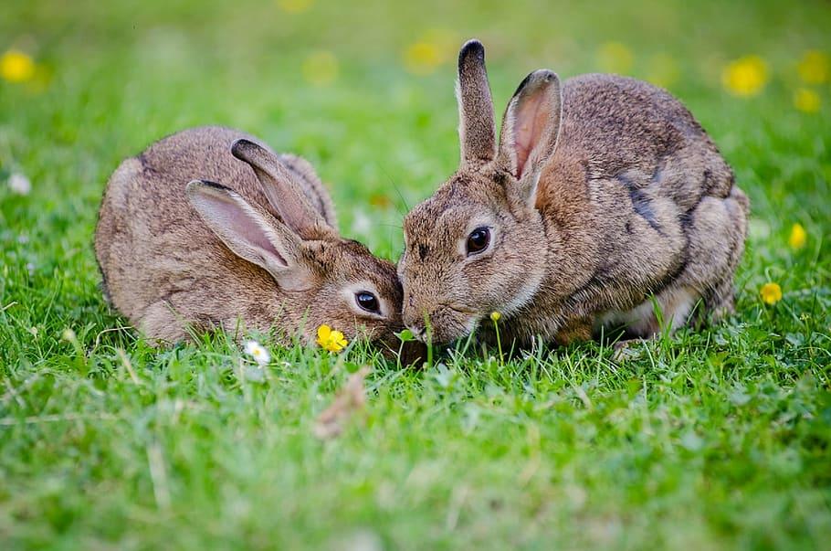 cuales son los tipos de conejos que existen
